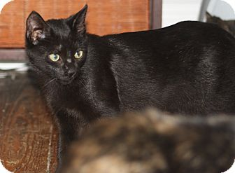 Domestic Mediumhair Kitten for adoption in Hayes, Virginia - Marcia