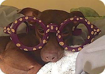 Dachshund/Chihuahua Mix Dog for adoption in Scottsdale, Arizona - Coco