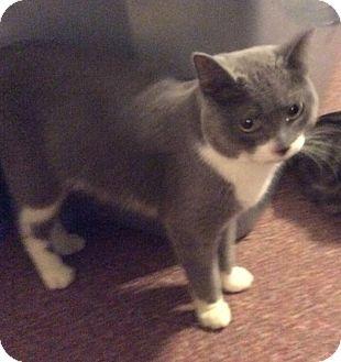 Domestic Shorthair Cat for adoption in Mt Pleasant, Pennsylvania - Simon