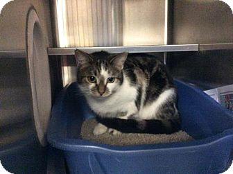 Domestic Shorthair Cat for adoption in Janesville, Wisconsin - Panini