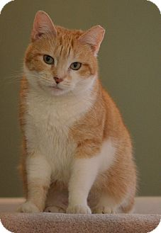 Domestic Shorthair Cat for adoption in Horsham, Pennsylvania - Maille