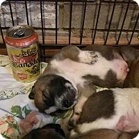 Adopt A Pet :: Neato Bandito - Dallas, TX