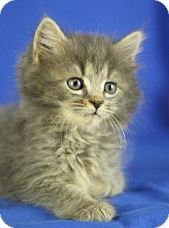 Domestic Longhair Kitten for adoption in Winston-Salem, North Carolina - Grant