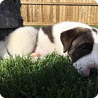 Pit Bull Terrier/St. Bernard Mix Puppy for adoption in Edmonton, Alberta - Stella
