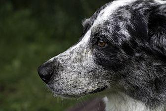 Australian Shepherd Mix Dog for adoption in Flintstone, Maryland - Smokey