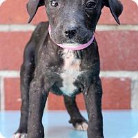Adopt A Pet :: Roxie - Waldorf, MD