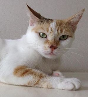 Domestic Shorthair Cat for adoption in Thornhill, Ontario - Skye