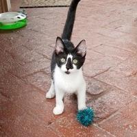 Adopt A Pet :: Socks - Pendleton, IN