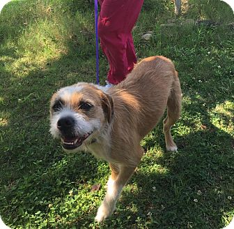 Boxer/Terrier (Unknown Type, Medium) Mix Dog for adoption in Rochester, New York - Oscar is reduced!