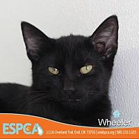 Domestic Shorthair Kitten for adoption in Enid, Oklahoma - Wheeler