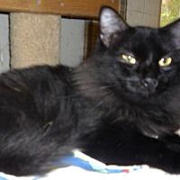 Adopt A Pet :: Gothic Lady - Dallas, TX