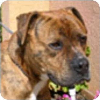 American Pit Bull Terrier Mix Dog for adoption in Berkeley, California - Sherman
