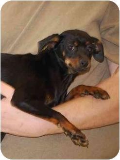 Miniature Pinscher Mix Puppy for adoption in Gallatin, Tennessee - TINKER AND SAVANNA