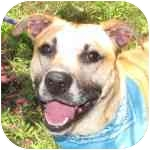 Shepherd (Unknown Type) Mix Puppy for adoption in Eatontown, New Jersey - Neil