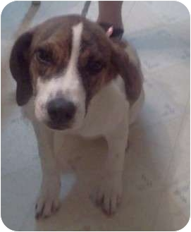 Beagle/Whippet Mix Puppy for adoption in Hammonton, New Jersey - Lily