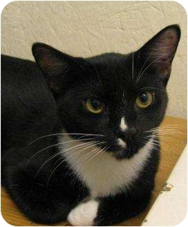Domestic Shorthair Kitten for adoption in Metairie, Louisiana - Dixie