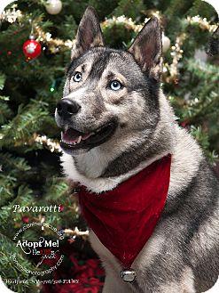 Husky Mix Dog for adoption in Westfield, New York - Pavarotti