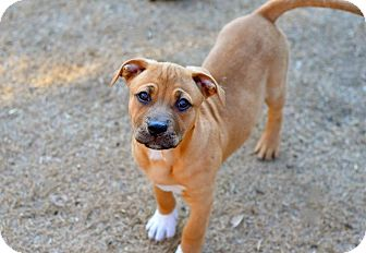 English Bulldog/Rhodesian Ridgeback Mix Dog for adoption in Flower Mound, Texas - Chambers