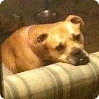 Adopt A Pet :: Honey - Linton, IN