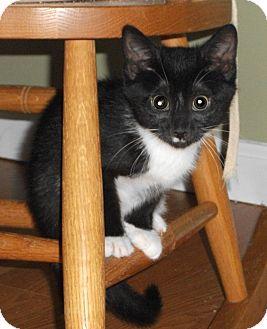 Domestic Shorthair Kitten for adoption in Colmar, Pennsylvania - Frantzo