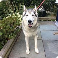 Adopt A Pet :: Wolfie - Horsham, PA