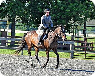 Thoroughbred for adoption in Spencer, New York - Influential