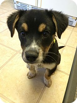 Australian Shepherd Mix Puppy for adoption in Manassas, Virginia - Amanda