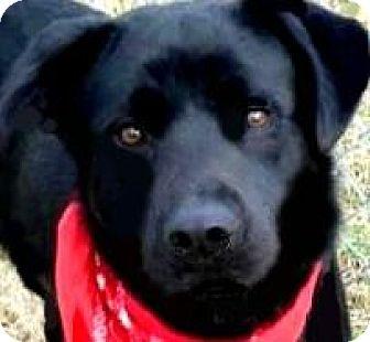 Labrador Retriever Dog for adoption in Winchester, Kentucky - BUDDY(TRAINED-SO SMART!!!