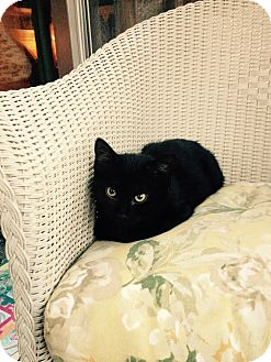 American Shorthair Kitten for adoption in Swansea, Massachusetts - Twins Harley and Frankie