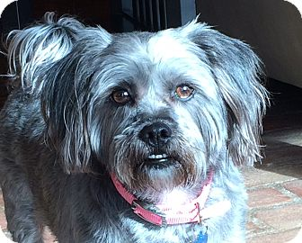 Shih Tzu/Silky Terrier Mix Dog for adoption in Spring Valley, New York - Muffin