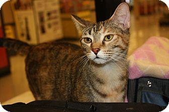 Domestic Shorthair Cat for adoption in Arlington/Ft Worth, Texas - Nutmeg