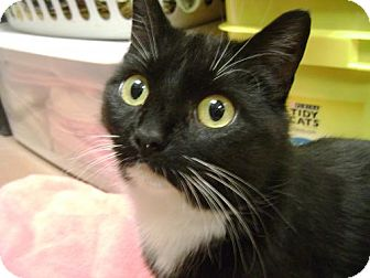 Domestic Shorthair Cat for adoption in Middletown, Ohio - Mumm