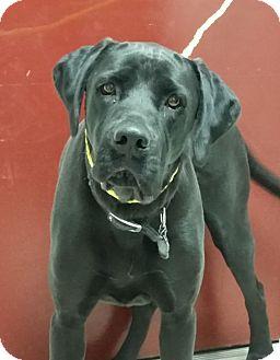 Labrador Retriever/Boxer Mix Dog for adoption in Greeley, Colorado - Ruger