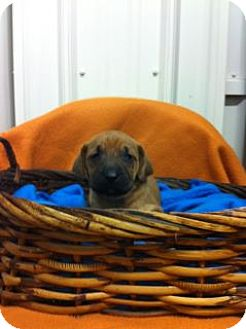 Boxer/Husky Mix Puppy for adoption in Greenville, Kentucky - Brownie