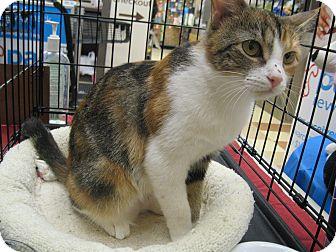 Calico Kitten for adoption in New york, New York - CALLIE