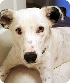 Border Collie/Cattle Dog Mix Dog for adoption in Las Vegas, Nevada - Jasper