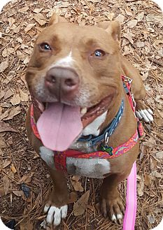 American Staffordshire Terrier Mix Dog for adoption in Savannah, Georgia - Zac Brown