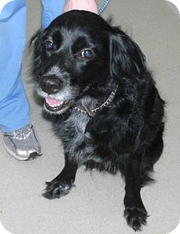 Cocker Spaniel Mix Dog for adoption in Dover, Tennessee - Sidney
