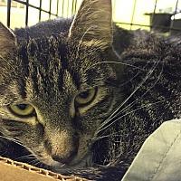 Adopt A Pet :: Suave - Trevose, PA