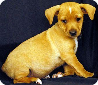 Chihuahua/Dachshund Mix Puppy for adoption in Newland, North Carolina - Bark Twain