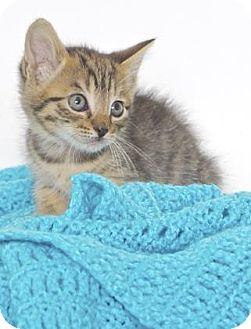 Domestic Shorthair Kitten for adoption in Gloucester, Virginia - JUDY
