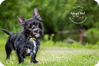 Terrier (Unknown Type, Small) Mix Dog for adoption in Warsaw, Indiana - Max