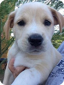 Labrador Retriever/Australian Cattle Dog Mix Puppy for adoption in Cave Creek, Arizona - Jake