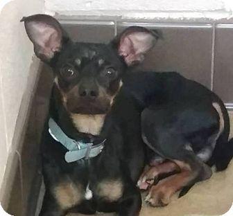 Miniature Pinscher Mix Dog for adoption in Las Vegas, Nevada - Bleu