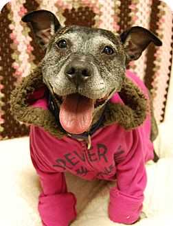 American Staffordshire Terrier Mix Dog for adoption in Wilmington, Delaware - Cindy