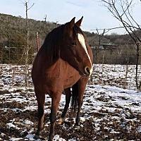 Paso Fino for adoption in Gallatin, Tennessee - Bonita