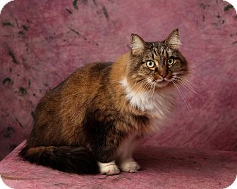 Maine Coon Cat for adoption in Harrisonburg, Virginia - Sammy