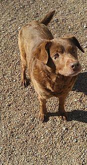 Labrador Retriever/Australian Cattle Dog Mix Dog for adoption in Godfrey, Illinois - Kylie