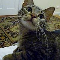 Adopt A Pet :: Baby Doll - Mt. Vernon, NY