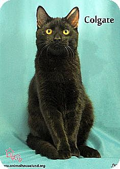 Domestic Shorthair Cat for adoption in St Louis, Missouri - Colgate